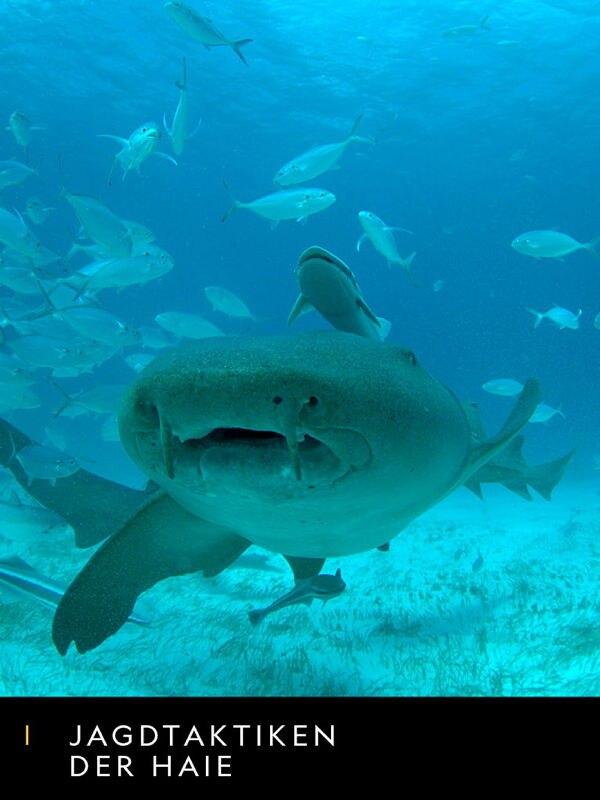 Jagdtaktiken der Haie