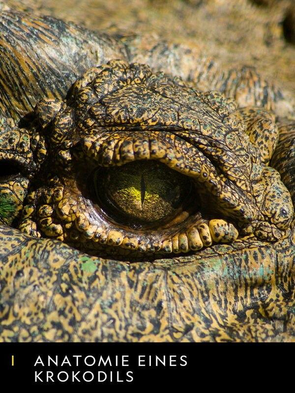Anatomie eines Krokodils