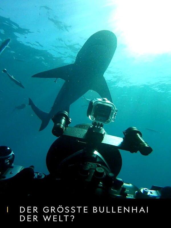 Der größte Bullenhai der Welt?