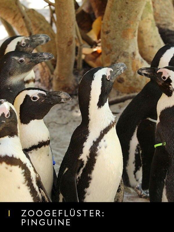 Zoogeflüster: Pinguine